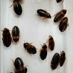 Taking Care of Dubia Roaches