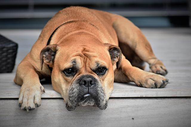 dog, animal, continental bulldog