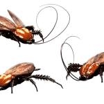 German Cockroaches – Control Solutions for Homeowners