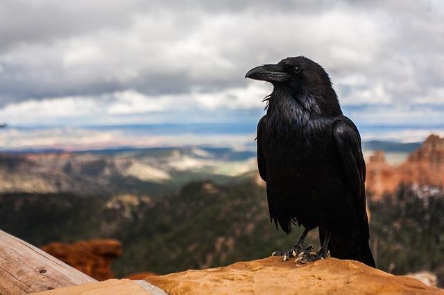 crow, raven, bird