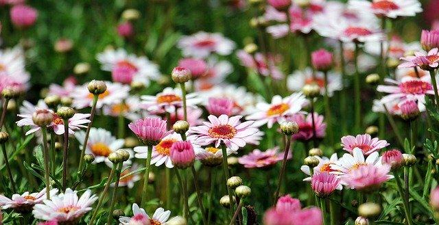 marguerite, tree daisy, flower