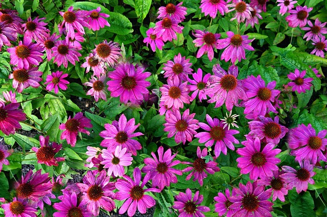 cone flower, purple cone flower, echinacea purpurea